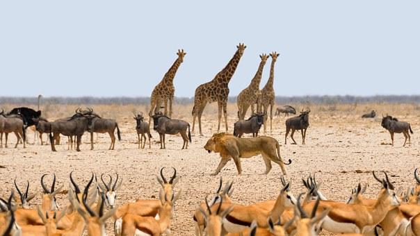 photo of lion walking among prey in safari setting