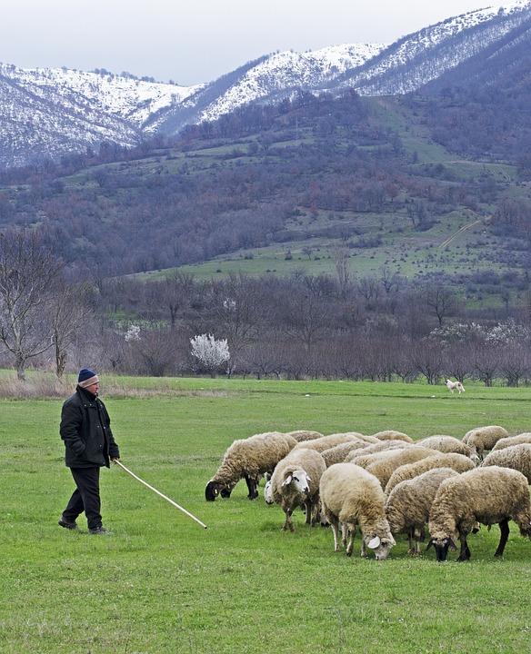 shepherd with his flock of sheep